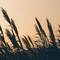 Wheat Blowing in the Wind During Sunset